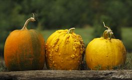 Pumpkins (Cucurbita mochata) Royalty Free Stock Photo