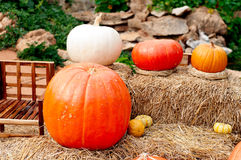 Pumpkins (Cucurbita moschata) Royalty Free Stock Photography