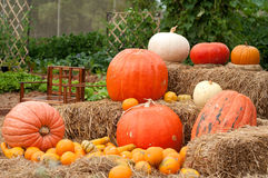 Pumpkins (Cucurbita moschata) Stock Photos