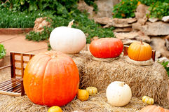 Pumpkins (Cucurbita moschata) Royalty Free Stock Photo