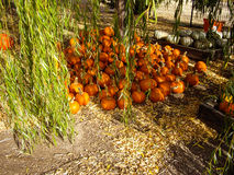 Pumpkins cure in shade of tree Royalty Free Stock Photo