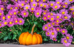 Pumpkins and Daisies. A pumpkin with purple daisies Stock Photo