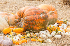 Pumpkins with different colours in the field Royalty Free Stock Image