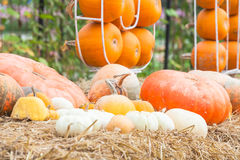 Pumpkins with different colours in the field Stock Photo
