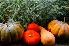 Pumpkins of different colours in the garden Stock Image