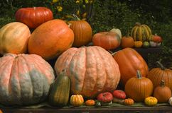 Pumpkins. Different kinds and sizes of pumpkins Royalty Free Stock Photo