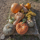 Pumpkins of different shapes and colors Stock Photos