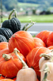Pumpkins of different sizes Stock Image