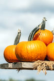 Pumpkins of different sizes Royalty Free Stock Photo