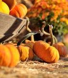 Pumpkins dispatch. Before Halloween near Richmond VA Stock Photography