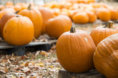 Pumpkins on Display Royalty Free Stock Image