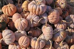 Pumpkins on Display Royalty Free Stock Photo