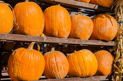 Pumpkins on Display Stock Image