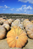 Pumpkins drying in the sun Royalty Free Stock Photography