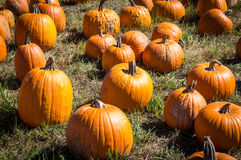 Pumpkins everywhere. Pumpkins in a field at Outhouse Orchard, North Salem, NY Royalty Free Stock Photography