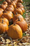 Pumpkins in Fall. A row of ripe orange pumpkins sitting on grass, available for sale stock photos