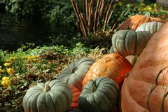 Pumpkins and fall flowers. Pumpkins, fall flowers, Halloween and Thanksgiving royalty free stock photo