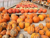Pumpkins!. Pumpkins in the fall at the pumpkin patch. Oakville ontario October 2014 Stock Image
