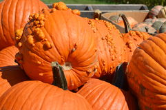 Pumpkins. Fall Pumpkins at a pumpkin patch. Taken in October prior to Halloween and Thanksgiving Royalty Free Stock Photo