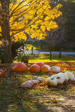 Pumpkins in Fall. Fall scene with pumpkins and tree changing colors on a country road Rochester Cider Mill royalty free stock images