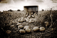 Pumpkins fallen from wooden crate Royalty Free Stock Images
