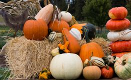 Harvest pumpkin display. Pumpkins and fancy squash on display at the farm Stock Image