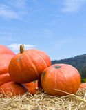 Pumpkins  in farm Royalty Free Stock Image