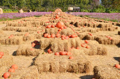 Pumpkins farm Stock Photo