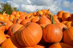 Pumpkins at the farm. A big pile of orange pumpkins at the farm Royalty Free Stock Photos