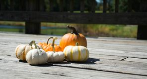 Pumpkins. In the farm comes in different color and size. White small one to orange medium size stock image