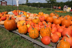 Pumpkins on the farm. These pumpkins are o display at the farm. There are many different kinds of pumpkins; different shapes, sizes, and colors Stock Image