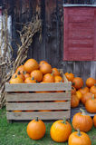 Pumpkins on the farm Stock Images