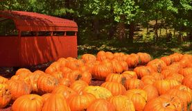 Pumpkins on a Farm Royalty Free Stock Photography