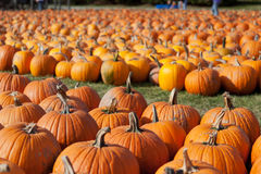 Pumpkins on Farm Royalty Free Stock Photography