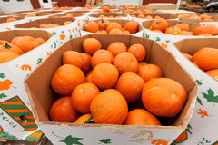 Pumpkins at the farmer market. Royalty Free Stock Photos