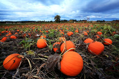 Pumpkins in Farmer's Field stock images