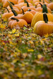 Pumpkins in field. Pumpkins lying on grass with blurred leaves in fall Royalty Free Stock Images