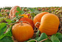 Pumpkins on a field. Pumpkin plants with rich harvest on a field royalty free stock photography