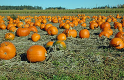 Pumpkins in the field. Pumpkins grown commercially lay ripening in the field ready for harvest Stock Photography