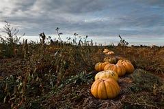 Pumpkins Field Stock Image