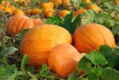 Pumpkins on the field Royalty Free Stock Image