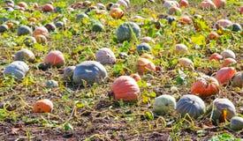 Pumpkins field. Field of ripe pumpkins on a sunny day. Horizontal shot Stock Photo