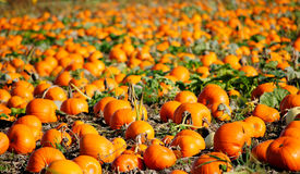 Pumpkins in a field Royalty Free Stock Photography