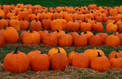 Pumpkins in a Field Royalty Free Stock Photo