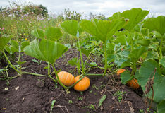 Pumpkins in a field. Royalty Free Stock Photography