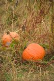 Pumpkins in Field Stock Photo