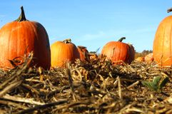Pumpkins in field. Close up view of pumpkins in field stock image