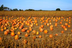 Pumpkins in field. Pumpkins for sale in field at farm stand Stock Photography