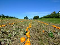 Pumpkins in field. Pumpkins in the field at Indian garden farm Bridgewater Lunenburg County Nova Scotia Canada stock photography