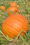Pumpkins in the Field Royalty Free Stock Images